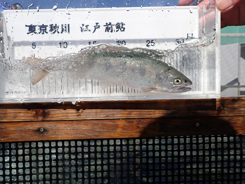 放流用ヤマメの検量をしました。2月23日(火)