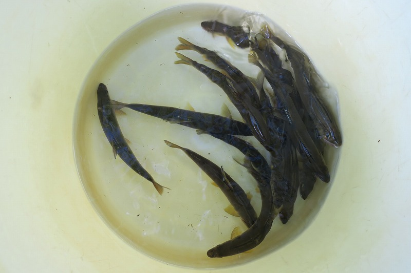 成魚と大アユ放流のお知らせ