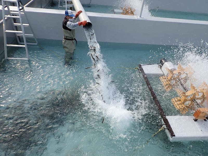 10月7日(木) ヤマメの稚魚畜養開始しました